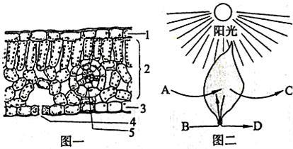 图二分别为叶片结构和光合作用示意图
