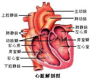 下图是血液循环和气体交换示意图,请据图回答