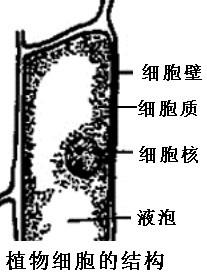 在生物实验课上,我们用显微镜观察了动植物细胞.请回忆一下你看过和画过的植物细胞或动物细胞.在下面适当的位置按生物绘图的画法要求,画一个结构比较完整的细胞结构简图