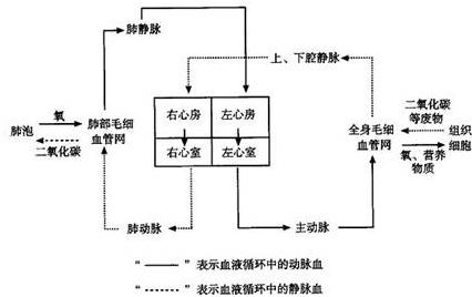 体循环和肺循环的功能