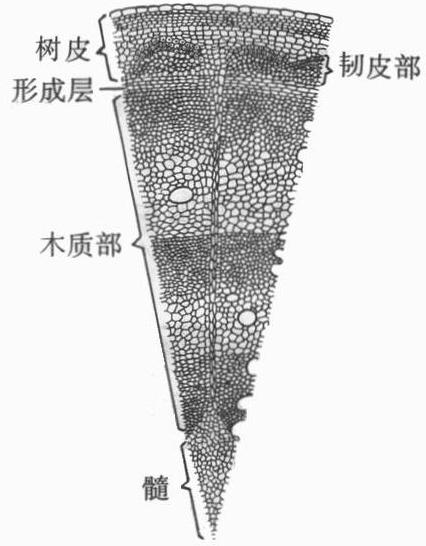 解:木本植物茎的结构,如图:1,树皮 靠近树皮的外侧,具有保护作用,内层