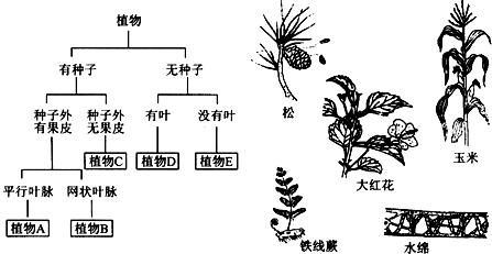 请你根据以下检索表对图示的植物进行分类