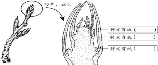 以及叶芽的结构和发育