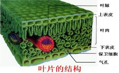 解:叶片的结构如图所示:由图示可知:靠近上表皮的叶肉细胞呈圆柱形