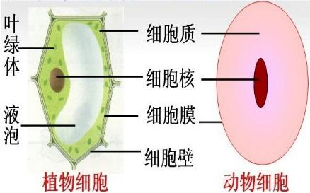 细胞膜和细胞质 b.细胞核和细胞膜 c.液泡和细胞壁 d.