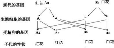 假若一株月季白花与一株红花月季v月季(Aa×a检讨初中生打牌1000字图片