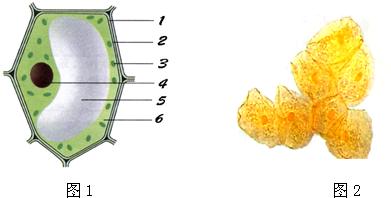 人口腔上皮细胞结构图_人口腔上皮细胞