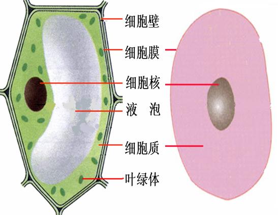 植物细胞的基本结构包括:细胞壁