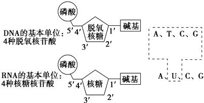 如图是dna和rna组成的结构示意图