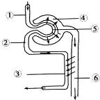 肾单位结构如图所示,下列叙述正确的是(  )图片