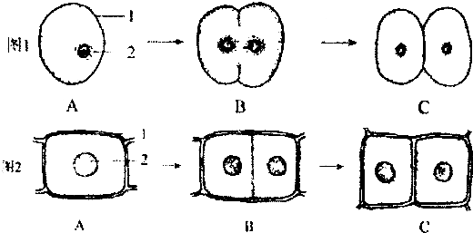 如图显示动物细胞和植物细胞分裂过程