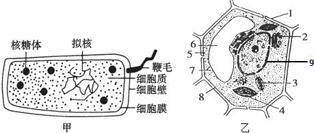 (2)乙图中2,6,7所示的结构名称分别是 高尔基体 高尔基体, 液泡 液泡