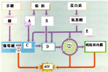 如图表示多糖,脂肪和蛋白质的氧化途径,请据图回答