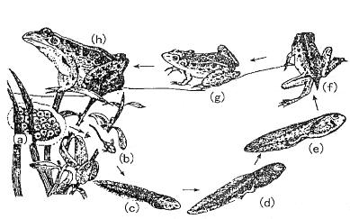 考点:两栖动物的生殖和发育过程