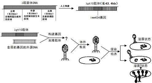 将经培养10小时左右的大肠杆菌-噬菌体的培养液超速