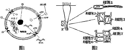 图1为细胞核的结构模式图