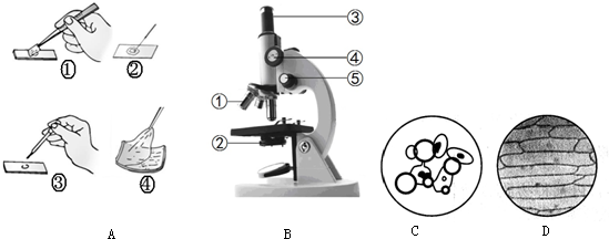 小明制作了洋葱鳞片叶表皮细胞,人的口腔上皮细胞临时装片,在显微镜下