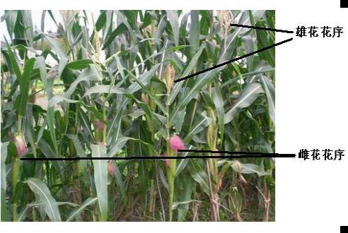 从花蕊的情况和花着生的情况两方面看,玉米花