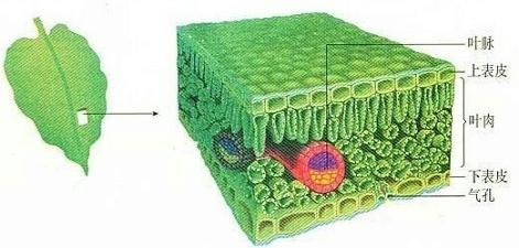 如图表示将叶片制成切片,并在显微镜下观察到叶片结构的情况,请据图片
