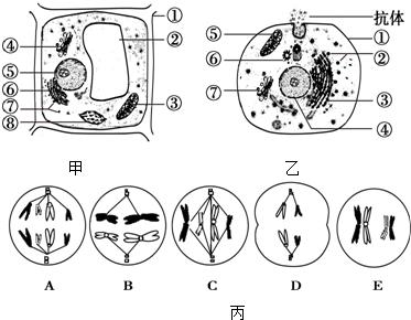 乙分别为植物和动物细胞的亚显微结构模式图