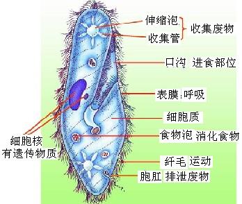 细菌荚膜手绘图芽孢