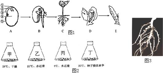 【解答】解:植物体的构次由小到大依是细组织官植物体.开花植物由、茎、叶、花、果实、种子六大器官组的.由图可知,从构生的结构次分析,种子、D花、E实都由不同的组织构成官. 乙瓶种子发;/空格 乙丙;乙和丁;甲乙 故案为:器官 胚根 导;/空格 分生区 、种子萌发的条件外界条件--适量水分、充足的空气和适宜温度自身件-完有活力的及胚发需的营养质. 大、花生等属于豆科植物在科植物的根瘤中有够固氮的根瘤菌与植物共生,瘤菌空气的氮转化为吸的含氮物质,从而使得植物生长良,而植物则根瘤菌提供有机物,二者互惠互利,同活