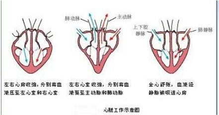 心脏体循环和肺循环图
