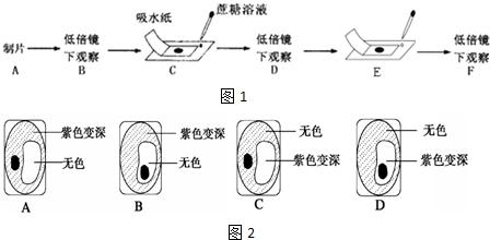 (1)b步骤主要观察洋葱鳞片叶表皮细胞中紫色 液泡 液泡的大小以及