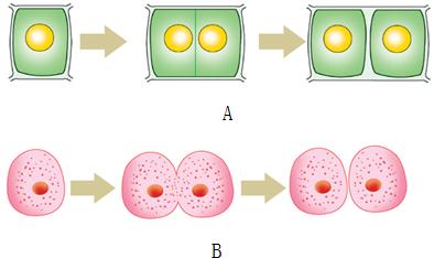 (3)动物细胞和植物细胞的分裂都开始于