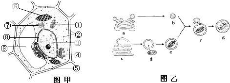"""图甲示细胞的亚显微结构;图乙示溶酶体发生过程和"""""""