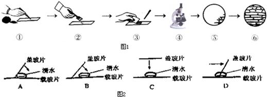 洋葱鳞片叶表皮细胞临时装片制作与观察的部分步骤