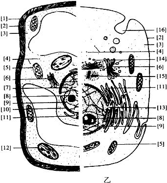 乙分别表示高等植物细胞和高等动物细胞的亚显微结构