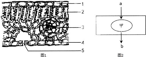 如图1是绿色植物叶片的结构示意图,图2是植物细胞内进行生命活动的