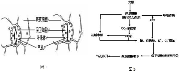 由两个保卫细胞围绕而成.以下图1表示气孔结构,图2表示气孔运动机图片