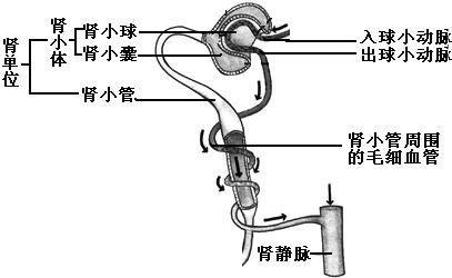 肾单位结构图如下