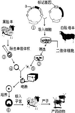 如图是培养生产药物的乳腺生物反应器转基因动物的