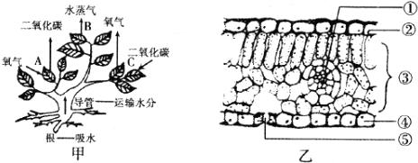 图甲表示植物的三种生理活动,图乙表示植物叶片结构,请回答下列问题