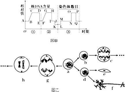 乙分别为某哺乳动物细胞分裂过程中的坐标图和