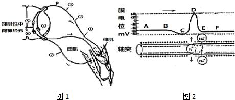 图1为膝反射弧结构示意图和动作电位在神经元上传导的示意图,下列叙述