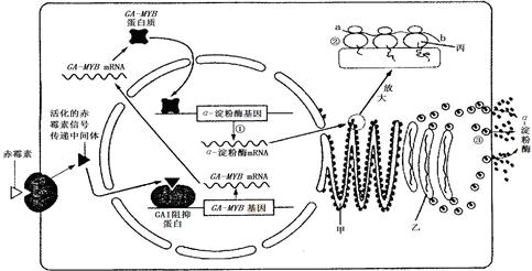 简述基因中的遗传信息经转录和翻译后在蛋白质中表达的过程图片